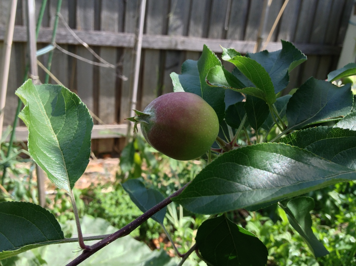 homegrown gala apple