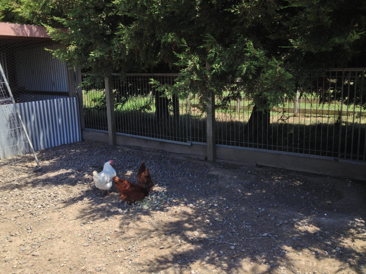 chickens at phillip island