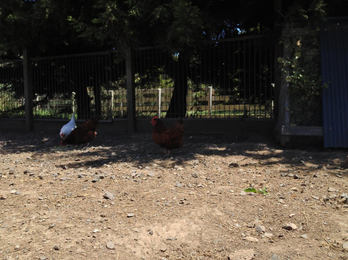 isa brown chickens on the island