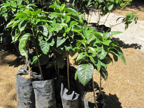 growing coffee plant