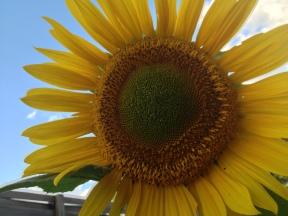 closeup of a sunflower