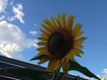sunflower as sun goes down