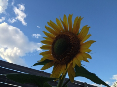sunflower as sun goes down