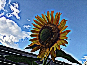old style sunflower