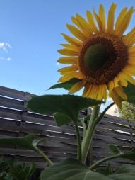sunflower full bloom