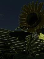 bright lights sunflower