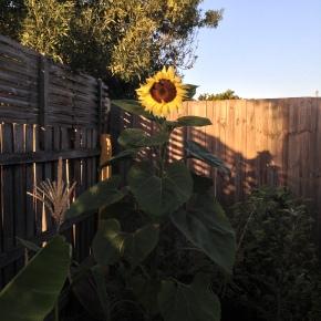Sunflower at Sunrise…Sunset