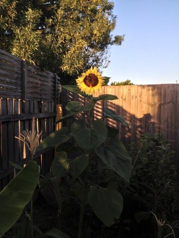 sunflower when sun rises