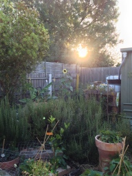 sunflower when sun goes down