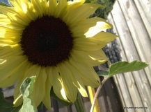 a large open sunflower