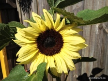a white tinged sunflower