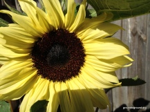 sunflower ready for sun
