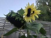 a sunflower with multiple heads