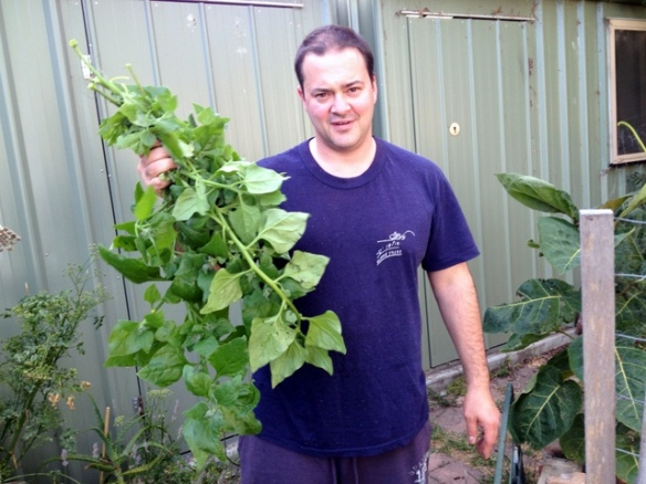 a Genziuk with crop of warrigal greens grown in backyard