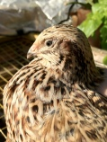 quail looking into his coop