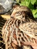 cute jap quail