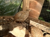 quail hens in their coop