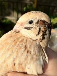 quail hen being held