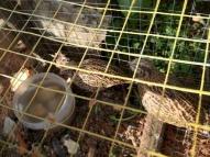 quail drinking in hutch