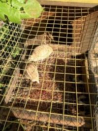 homemade quail hutch