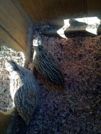 Jap quail in coop