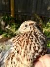 holding a quail