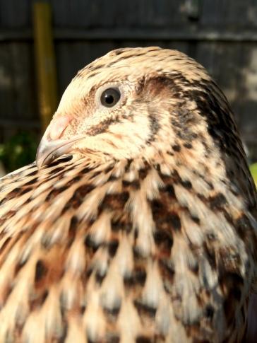 close up image of a quail