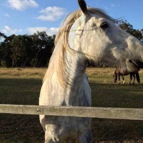 Phillip Island –Horses