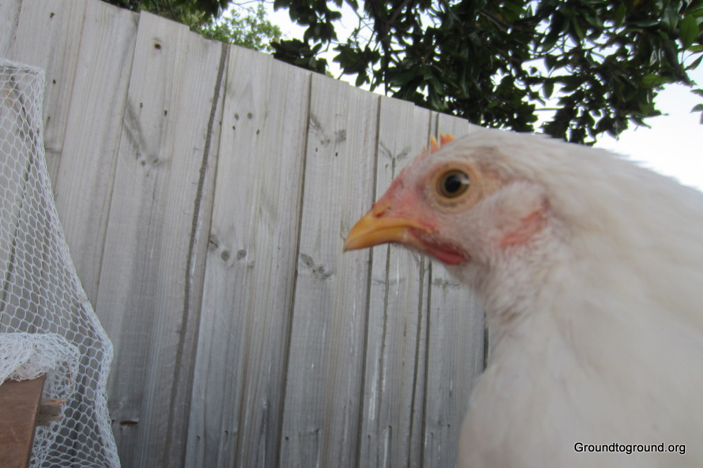 a white chook