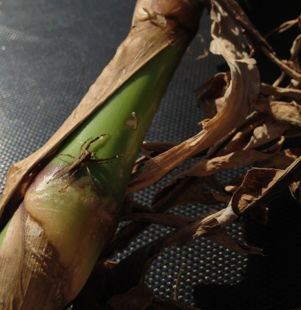 a spider waits on an arrowroot stalk