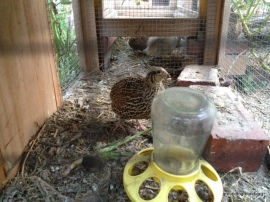 courtnix quail eating from feeder