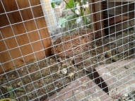 male quail hutch