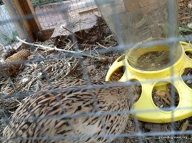 quail eating from feeder