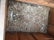 batch of quail eggs
