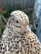 courtnix quail