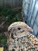 jap quail