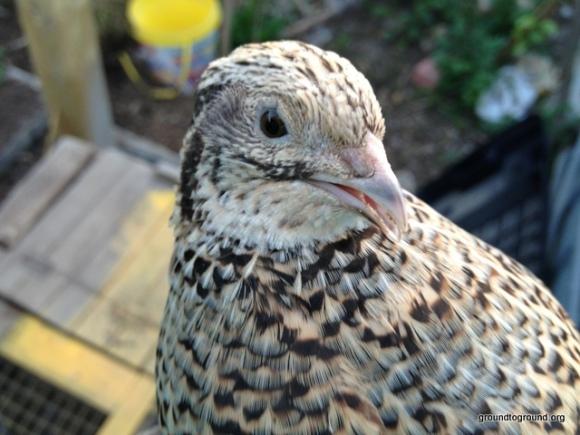 quail open beak
