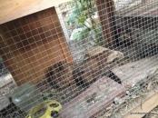 quails in their hutch