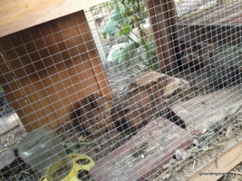 quails in their hutch