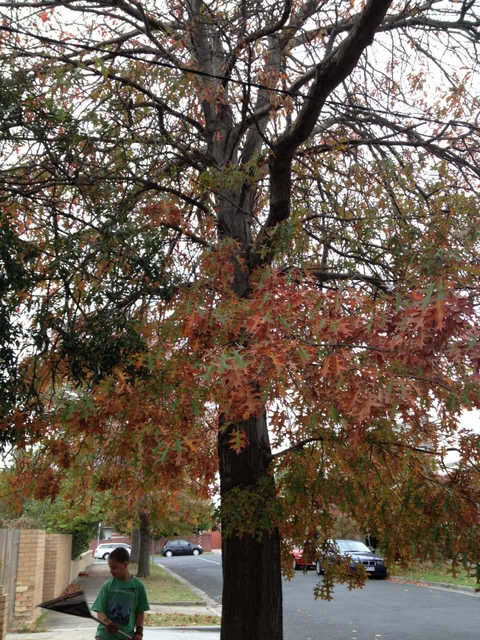 maple tree leaves dropping