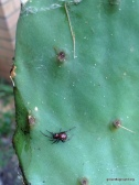 spider on Prickly Pear Cactus