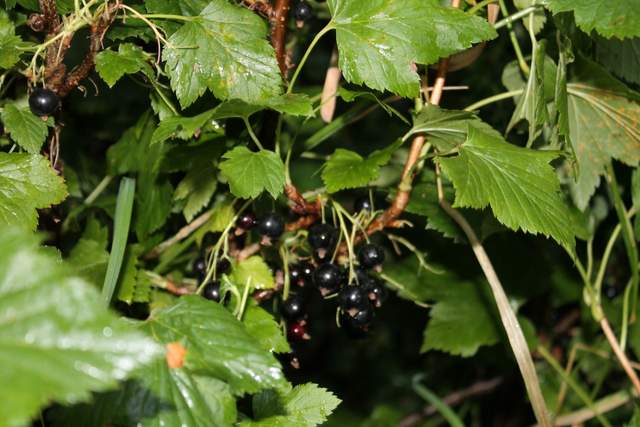 Blackcurrant fruit tree