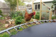 chook on trampoline