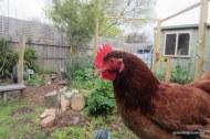 chicken red