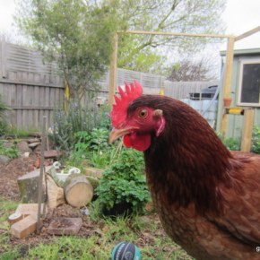 The Mad Adventures of Chilli the Blind Chicken – Part 1