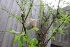 almond tree fruit