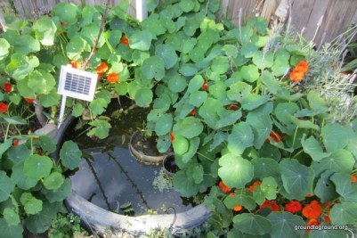 nasturtiums around tire pond