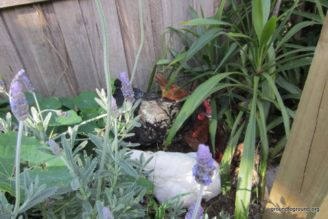 chickens playing in backyard