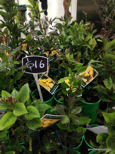 lemon trees for sale