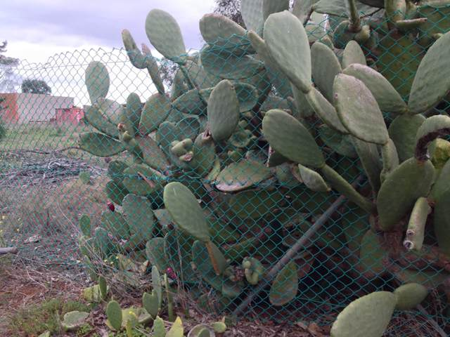 prickly-pear-fence